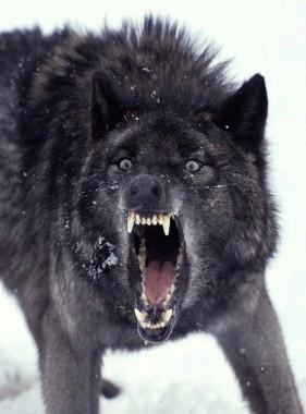 alpha wolf1